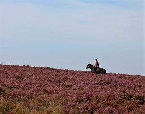 Scenic Horse Riding in the Heather